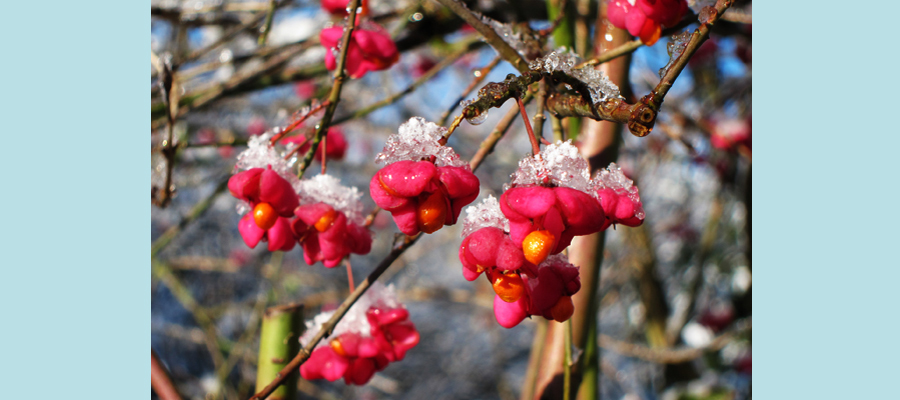 Bloom Surprised by an Ice Frost